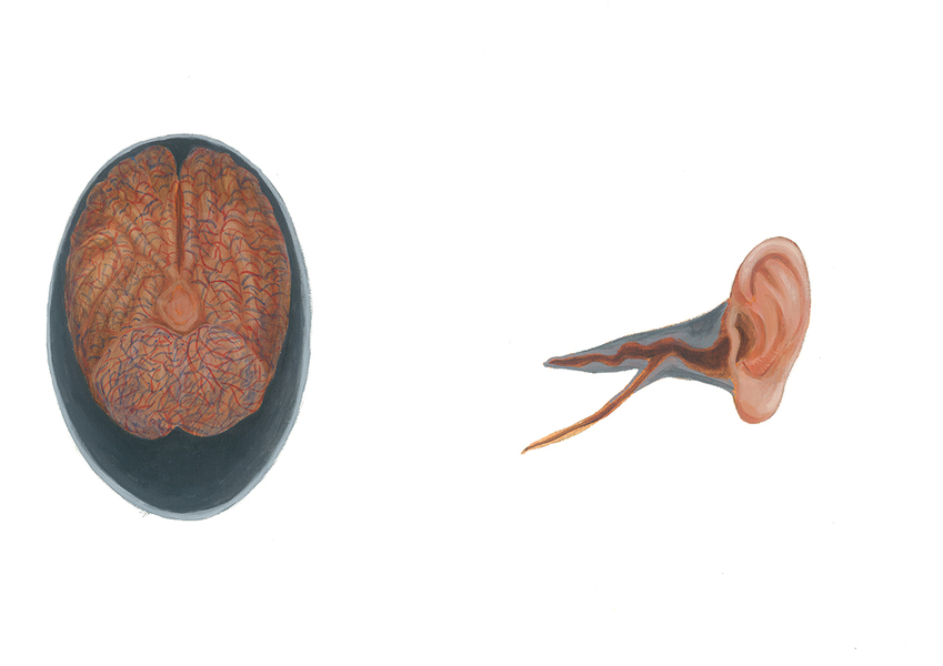 Position of the brain in the skull and ear