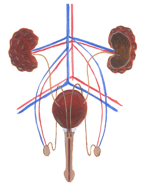 Urinary tract and bloodstream in the male genitals